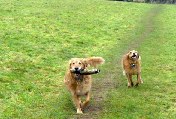 Happy Hounds Walking